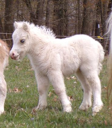 White miniature horse foal