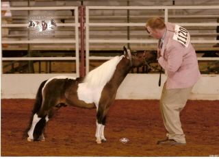 Brown and white miniature stallion