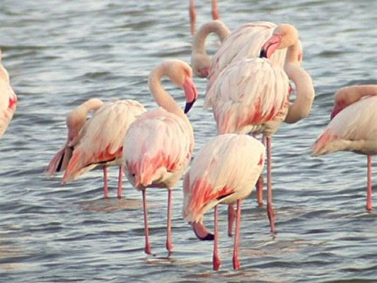 Flamingos in Lesbos