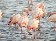 Flamingos on Lesbos