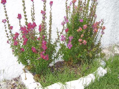 Vatera bloemen