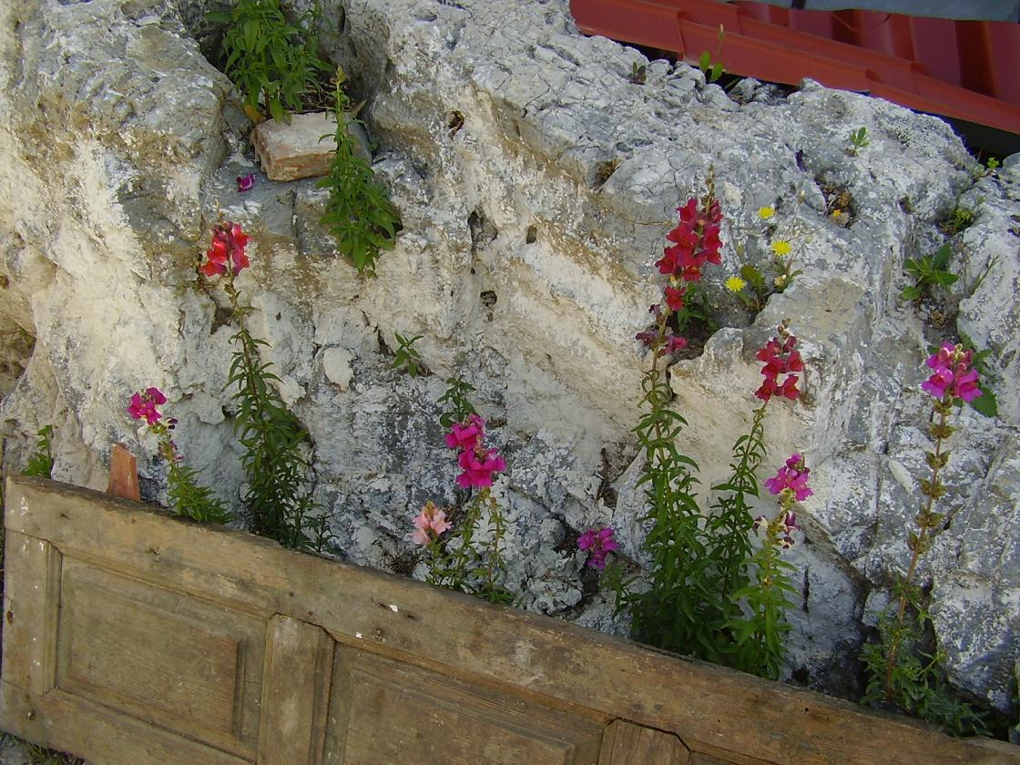 Samos landscape, flowers in Pirgos