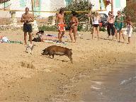 Een varken heeft het ook naar zijn zin op het strand van Panormos