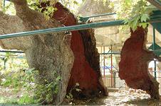 Hippocatres tree, Plataan van Hipppocrates