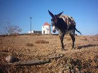 A donkey near a windmill on Tinos