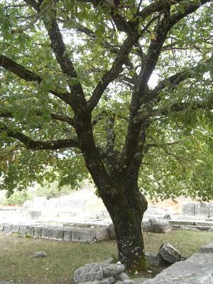De boom van zeus - het orakel