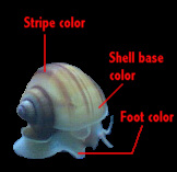 genetic diversity of golden apple snail As seen on the color examples page, an apple snail's color can be broken  in  the golden color, there is a much wider and noticable variation in other colors.